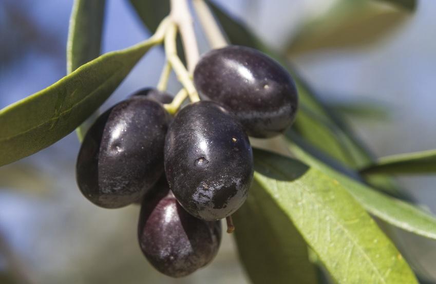 Oliven auf Thassos