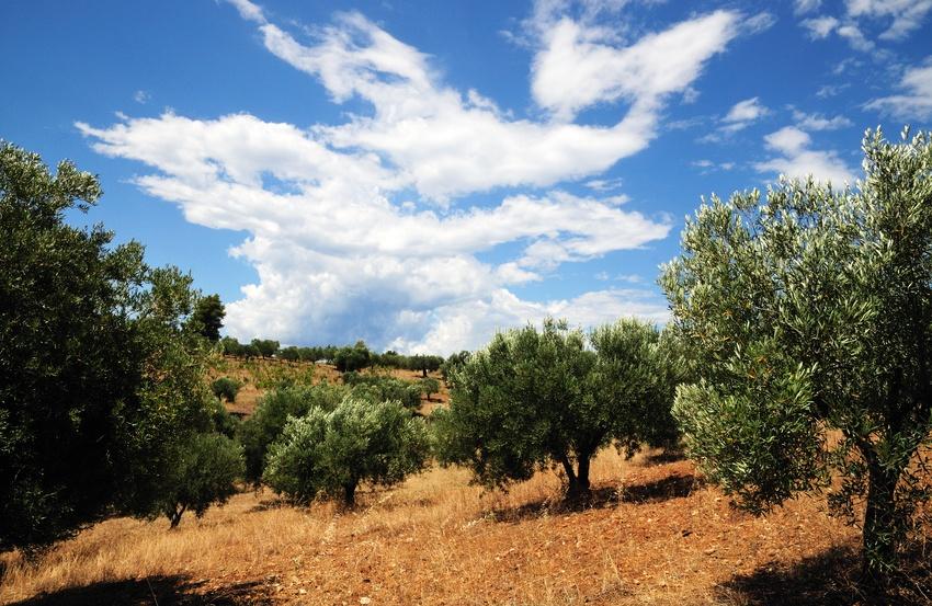 Olivenhain, Thassos